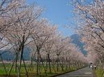 牧場の桜2008.4.3_1.jpg